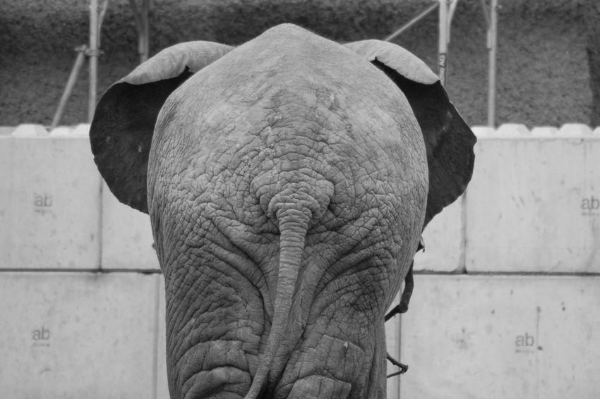 Animal Themes Backside Portrait Backstage Elephant Kiss Kissmyass Nointerests Zoology