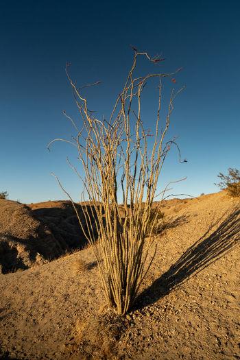 Plants on desert land against clear blue sky