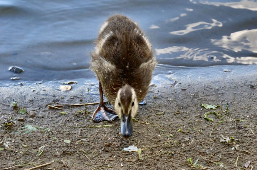 One Animal Animals In The Wild Animal Wildlife Animal Themes Bird Day Nature Outdoors No People Water Close-up Duckling