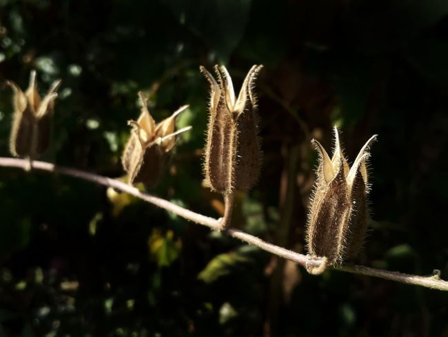 Plant Nature No People Focus On Foreground Close-up Growth Beauty In Nature Outdoors Macro Brilliant Dried Fruit Dried Flowers Leaf Plant