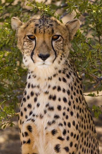 A Cheetah near