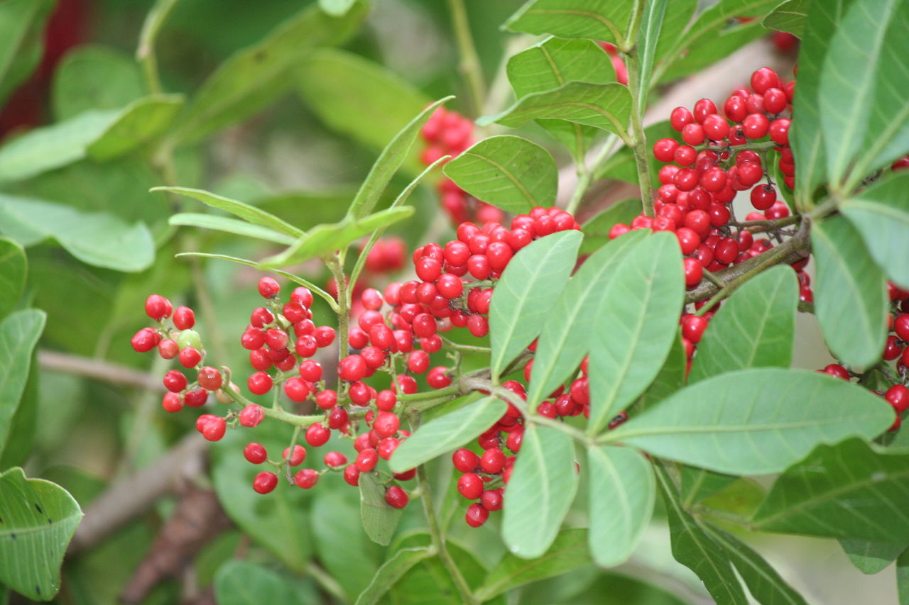 food and drink, red, fruit, food, healthy eating, leaf, plant part, berry fruit, growth, freshness, green color, plant, nature, close-up, focus on foreground, day, beauty in nature, selective focus, tree, ripe, outdoors, no people, rowanberry