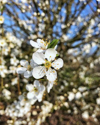 Frühling, Kirschblüten. Spring spring into spring Cherry Blossoms Kirschblüten  Frühlingserwachen