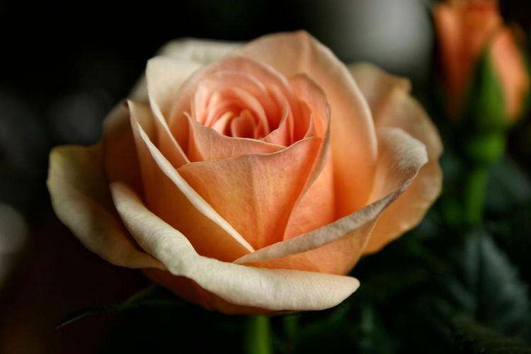Mother's Day Copy Space Love Apricot Color Asofttouch Beauty In Nature Bloom Blooming Close-up Dark Background Day Delicate Flower Flower Head Focus On Foreground Fragility Freshness Gift No People Petal Rose - Flower Roses Rosé Texture Tribute