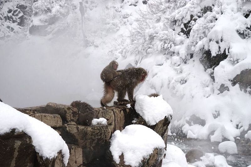 Winter Snow Cold Temperature Nature Weather Mammal Animal Themes Beauty In Nature Domestic Animals No People Day Outdoors Frozen Field Togetherness Geology Snowmonkeys Hot Spring Travel Destinations Mammals Japanese Macaque Animals In The Wild Animal Wildlife 地獄谷野猿公苑 in Nagano Prefecture,Japan