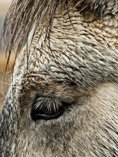 Animal Mammal Animal Themes One Animal Animal Body Part Animal Hair Hair Close-up Vertebrate Domestic Animals Domestic No People Animal Head  Animal Eye Icelandic Horse Iceland