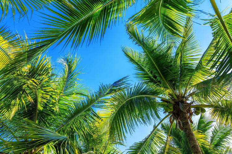 Coconut Palm trees. Tropical background. Palm Tree Tree Plant Tropical Climate Growth Green Color Leaf Palm Leaf Beauty In Nature Sky No People Nature Plant Part Tranquility Day Low Angle View Outdoors Tropical Tree Coconut Palm Tree Scenics - Nature