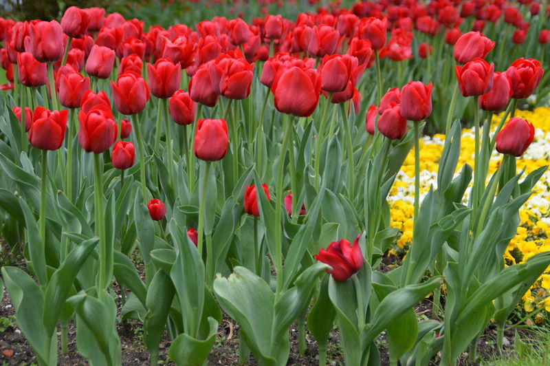 Beauty In Nature Field Flower Flower Head Fragility Freshness Green Color Growth Nature Outdoors Petal Plant Red Spring Tulip