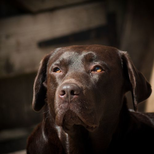 Close-up of chocolate labrador looking away