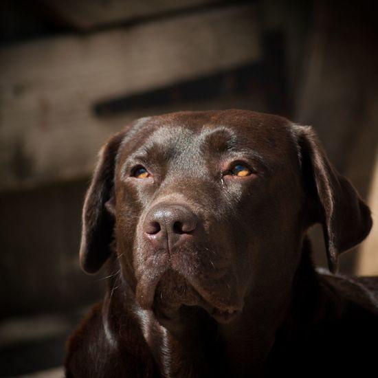 Labrador Chocolatelabrador Cute Pets Dog Dogs Of EyeEm Doglover Dogsofinstagram Dog❤ Picoftheday Labradors Chocolate Labrador Chocolate Lab Ashford Kent Kent