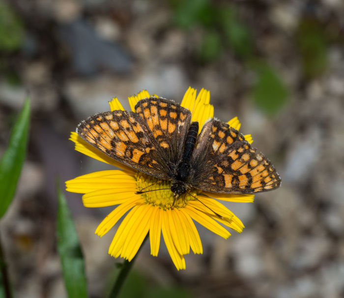 Argynnis Lathonia Fauna And Flora Fritillary Butterfly Issoria Animal Animal Themes Animal Wildlife Animal Wing Animals In The Wild Beauty In Nature Butterfly Butterfly - Insect Close Up Day Fauna Flower Flowering Plant Fragility Fritillary Insect Moth One Animal Outdoors Petal Yellow