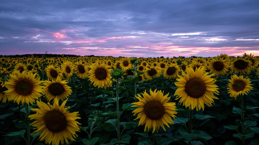 EyeEmNewHere Sunflower Beauty In Nature Blooming Close-up Cloud - Sky Day Field Flower Flower Head Fragility Freshness Growth Nature No People Outdoors Petal Plant Scenics Sky Sonnenblume Sunset Tranquility Yellow