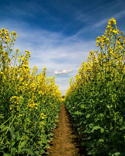 Yellow flowering plants on field against sky