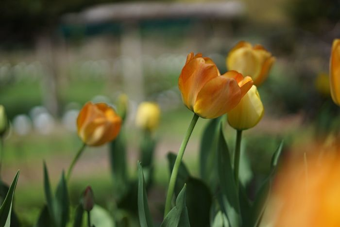 Tulips Flower Growth Petal Plant Freshness Beauty In Nature Nature Fragility Blooming Flower Head Yellow Focus On Foreground Stem Outdoors No People Close-up Field Day Orange Color Orange