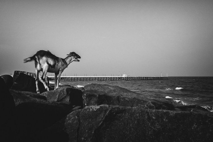 Horse standing by sea against clear sky