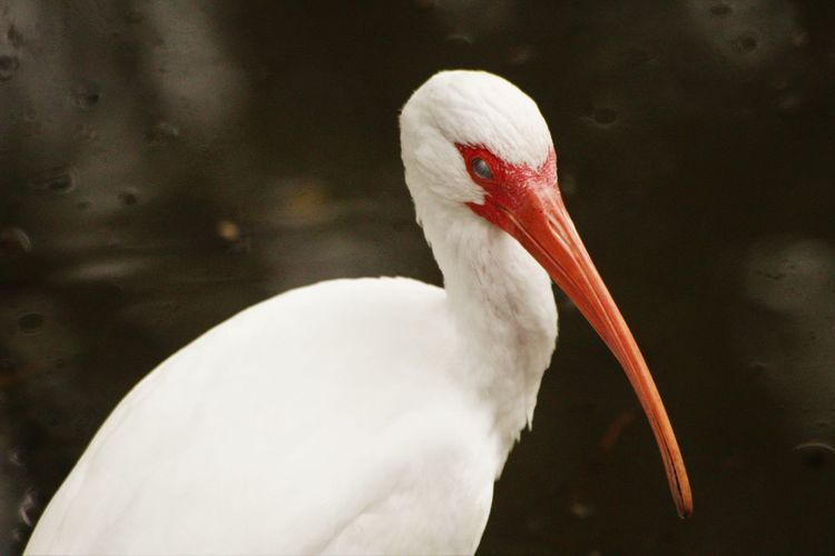 Close-up of american white ibis