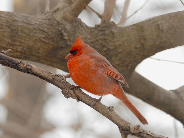 A male Cardinal Cardinal Animal Themes Animal Wildlife Animals In The Wild Beauty In Nature Bird Branch Close-up Day Focus On Foreground Male Nature No People One Animal Outdoors Perching Red Tree