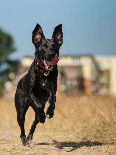 • Jessy in action! • Dog Canine Domestic Domestic Animals One Animal Pets Mammal Animal Animal Themes Focus On Foreground Vertebrate Nature Black Color Sunlight Day No People Running