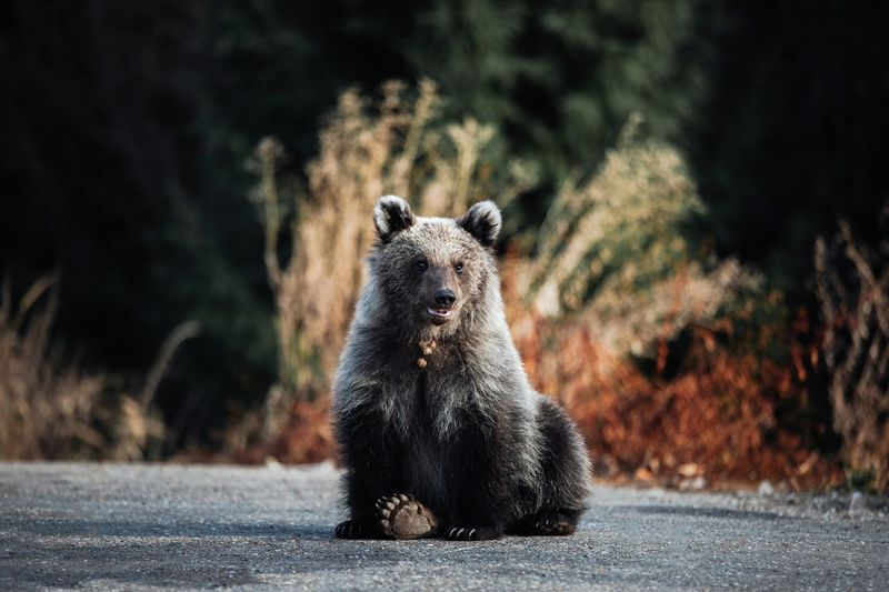 Portrait of bear sitting on road