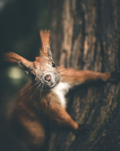 Close-up portrait of red squirrel on tree trunk