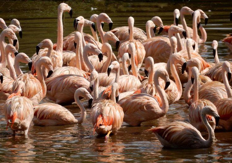 Bird Flamingo Water Togetherness Lake