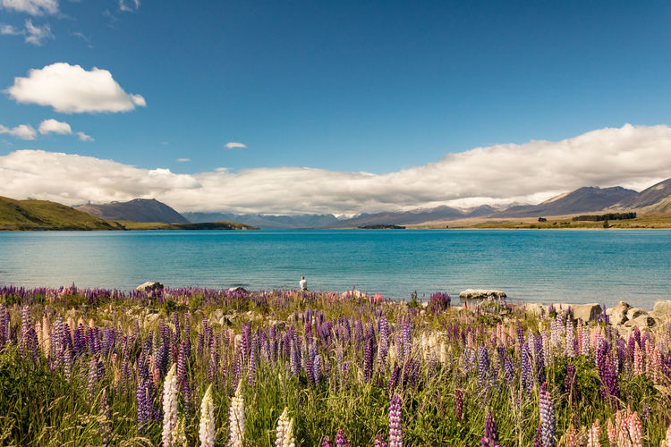 Lost in Beauty Wanaka Lupin New Zealand Scenery Beauty In Nature Sky Flower Flowering Plant Plant Water Scenics - Nature Cloud - Sky Nature Growth Mountain Tranquil Scene Day Tranquility Purple Land No People Vulnerability  Freshness Outdoors Lake Blue