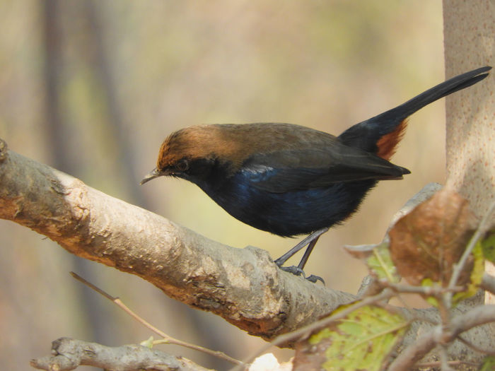 Male Bird Avian Wildlife Forest Indian Beak Perched Sitting Blue Wings Outdoors Perching Branch Bird Perching Water Branch Tree Close-up Robin Animal Neck Feeding