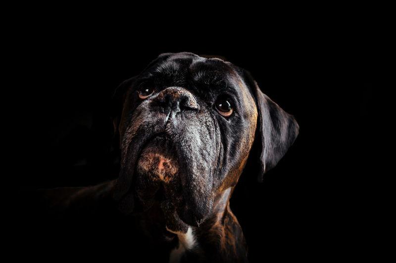 Close-up of black dog against dark background