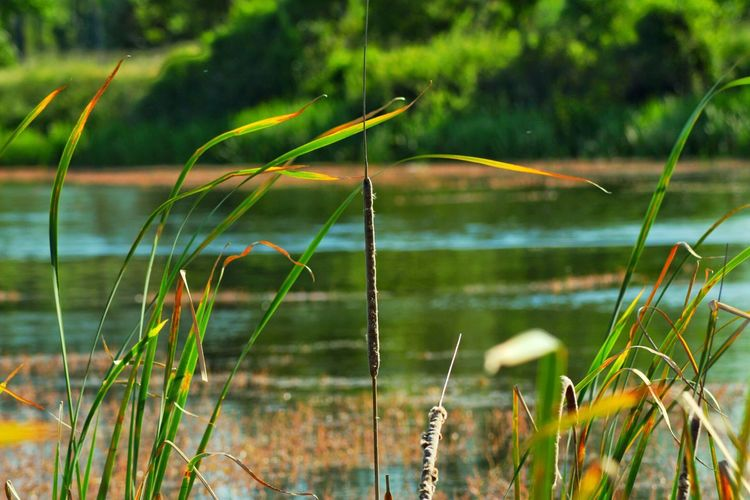 Nature View Lakeshore Reeds Nikon D5200
