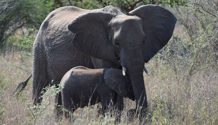 Mother Protecting its Child Animal Themes Animals In The Wild Bbaby Big Five Child Elephant Elephants Grass Mother Nature Protecting Where We Play Safari South Africa Wildlife Young Animal