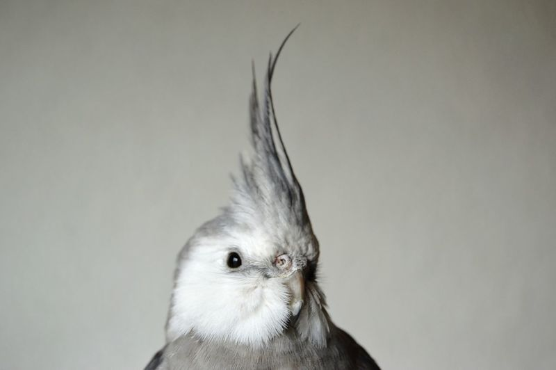 Close-up of cockatiel against wall