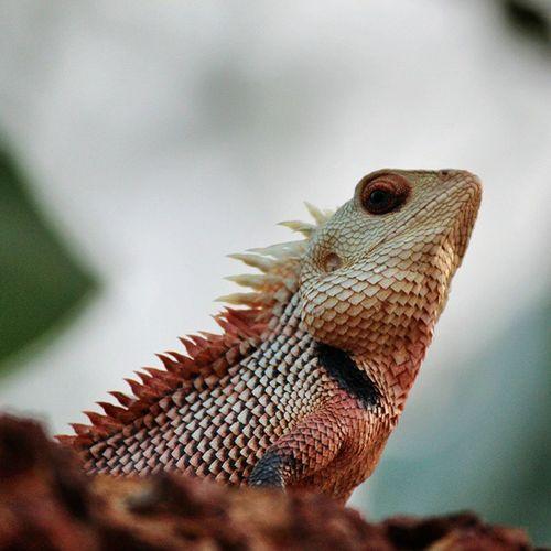 Canon 700D 55_250mm T5i Chameleon Wildlife Natgeo Nature Snapseed Instapic Picoftheday Chameleonsofinstagram Lovelyreptiles