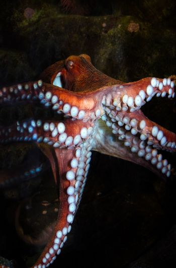 Colorful Octopus Animal Photography Water Oceananimals Seaanimal Animal One Animal Animal Themes Animals In The Wild Animal Wildlife Wildlife No People Sea Life Close-up Day Outdoors Nature Water