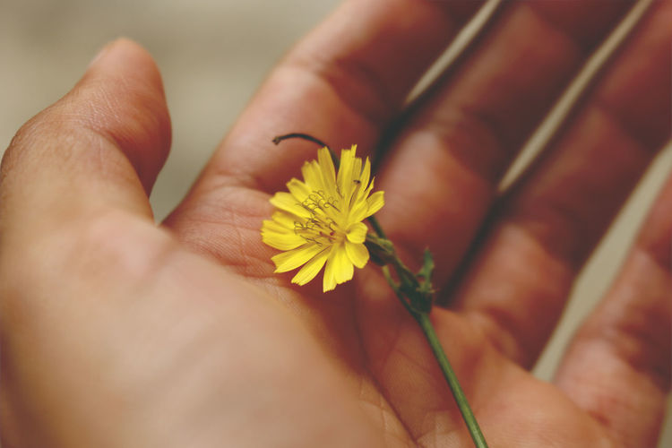 Outlaying Yellow Nature Flower Hands Close Up Holding Love Spring Yellow Flowering Plant Tiny Human Hand Flower Child Beauty Flower Head Close-up Body Part Palm Plant Life Finger Human Finger Sunflower Personal Perspective