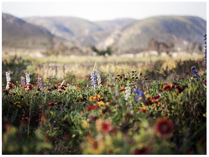 Alive  Beauty In Nature Eastern Cape South Africa Field Flower Flower Head Flowers Freshness Grass Greenery Growth Landscape Life Mountain Nature Outdoors Plant Selective Focus South Africa Spring Springflowers Tranquil Scene Tranquility Wildflowers In Bloom Wildlife & Nature