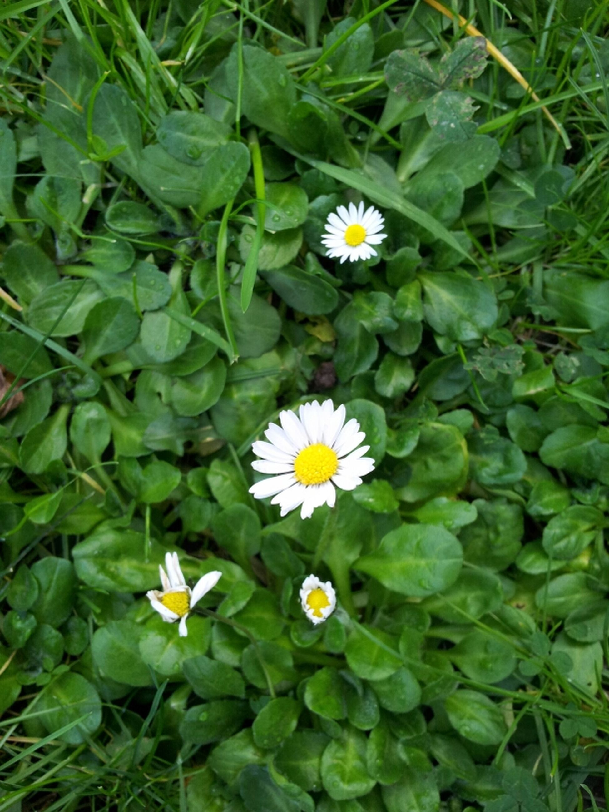 flower, freshness, fragility, petal, growth, flower head, white color, beauty in nature, leaf, green color, daisy, high angle view, plant, blooming, nature, yellow, in bloom, pollen, field, close-up