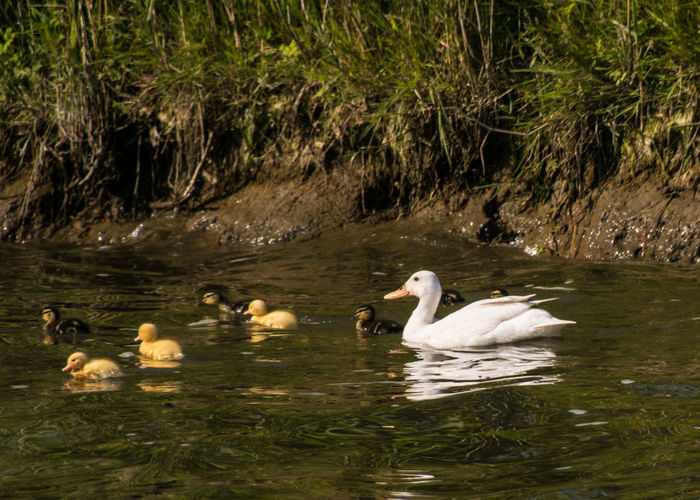 Norfolk Broads Animal Animal Family Animal Themes Animal Wildlife Animals In The Wild Bird Day Duck Duckling Ducklings Group Of Animals Lake Medium Group Of Animals Nature No People Outdoors River Swan Swimming Vertebrate Water Water Bird Young Animal Young Bird