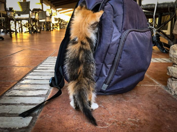Curious tortoiseshell kitten investigating a discarded rucksack Curious Kitten Rucksack Calico Kitten Calico Cat Kitten Tortoiseshell Cat Tortiseshell Kitten Tabby Kitten One Animal Pets Domestic Vertebrate Domestic Animals Mammal Indoors  Real People Day Relaxation Dog Canine Close-up Sunlight Flooring