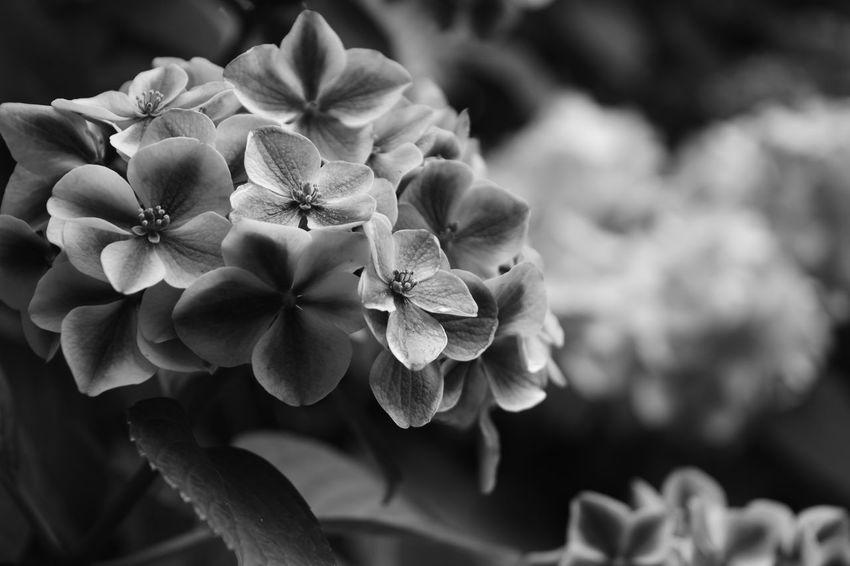 Beauty In Nature Blooming Day EyeEm Best Shots EyeEm Nature Lover Eyeemmonochrome Flower Hydrangea Monochrome Nature Japan