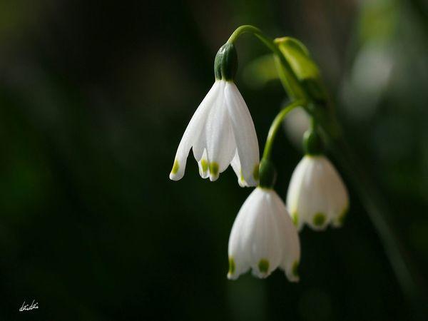 奥ゆかしさ E-PL3 Flower White My Zoom Up No Edit/no Filter