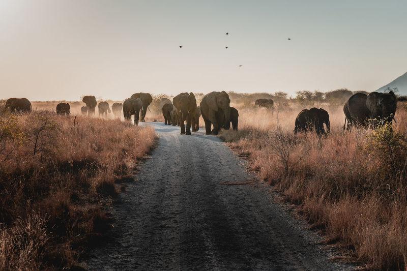 Elephants walking on road against sky