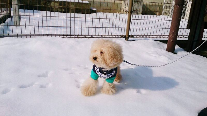 Snow run. Pet Snow Toypoodle My Toypoodle Poodle Love 雪の上で固まるロイ。