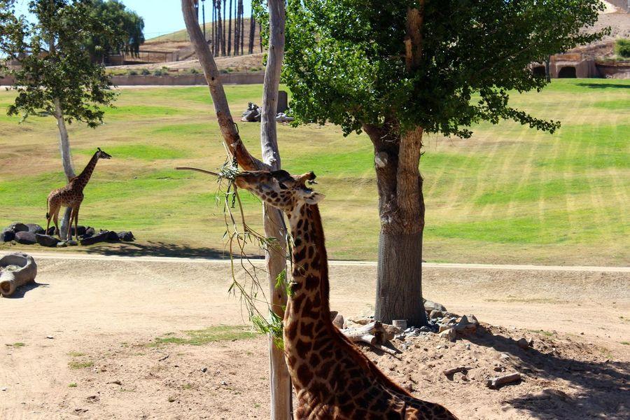Animals In The Wild Giraffe Giraffes! Giraffe♥ Wildlife Photography Zoo Animal Themes Day Giraffes Mammal Nature No People Outdoors Tree Wildlife Zoo Animals  Zoology
