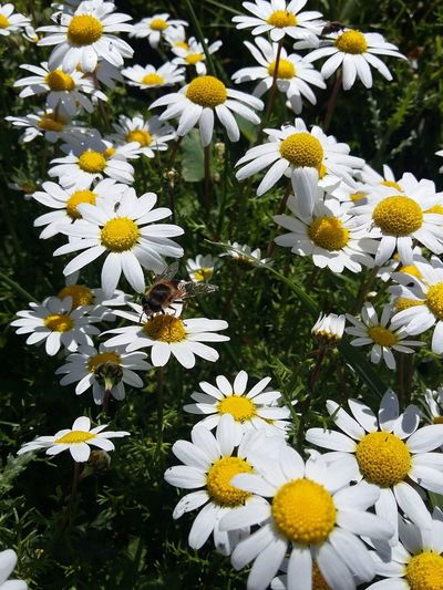 Bee over daisy