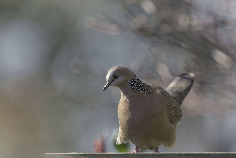 Watching Avian Bireuen Feather Skir Perched Bire Perspective Selective Focus Spotted Dove Uplifted Wildlife Wind In Fe