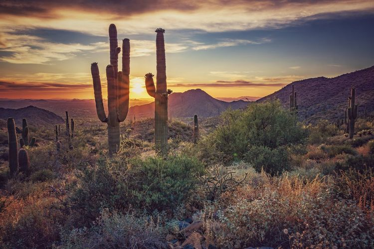 Saguaro cactus growing on land against sky during sunset