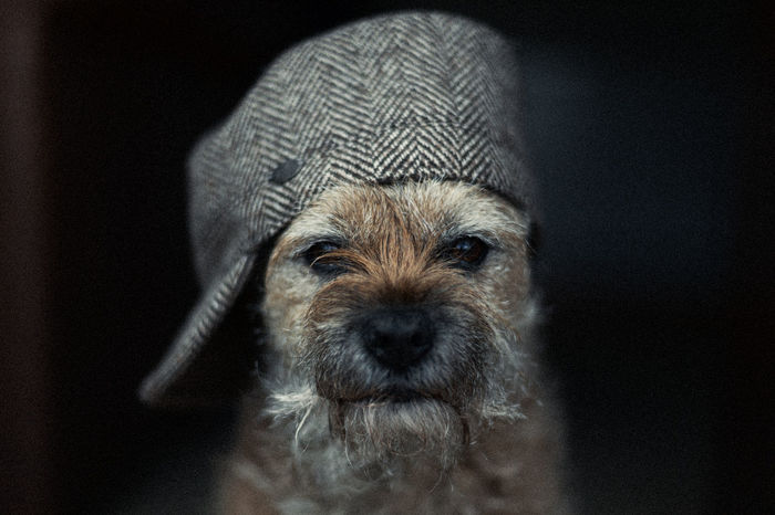 Border Terrier Black Background Cool Dog Cute Dog  Dog Dogs In Hats Domestic Animals Indoors  Looking At Camera No People One Animal Pets Portrait Terrier