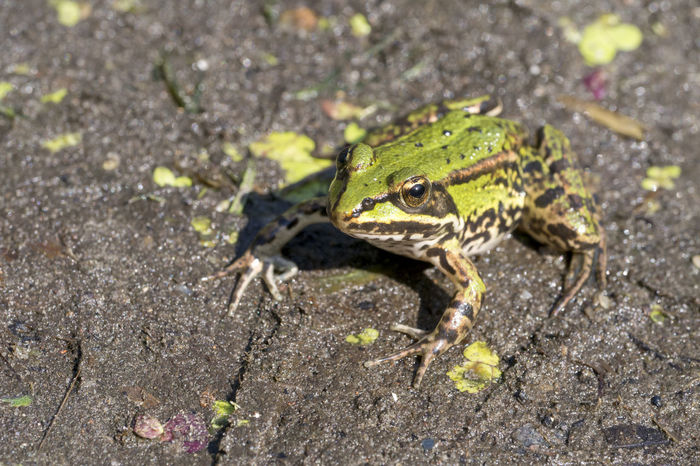 Edible frog, Common water frog, Pelophylax esculentus Nature Animal Common Frog, Toad, Water, Lake, Swimming, Amphibians, Plants, Evening, Lake Outdoors Summer Water