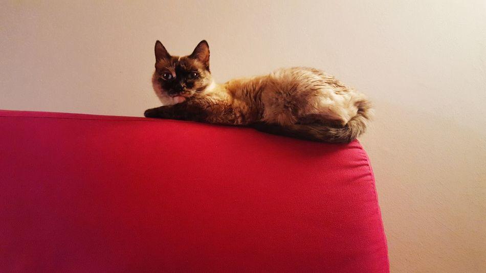 Gatti ovunque. Cats everywhere Siamese Cat Zelenezen