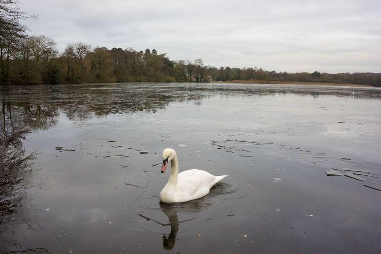 Swans in winter on a partially frozen lake Birds Birds Flying Over A Lake Bushes Day Lake Lake View Nature No People Outdoors Outdoors Photograpghy  Rural Scene Swan Swans In Winter On A Partially Frozen Lake Trees Water Wintertime